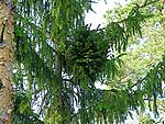 WB on picea abies (Vologda region)